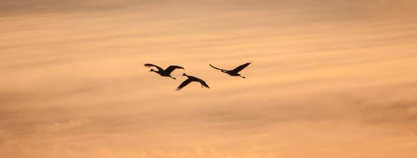 Drei Silhouetten von Kranichen im Sonnenuntergang.