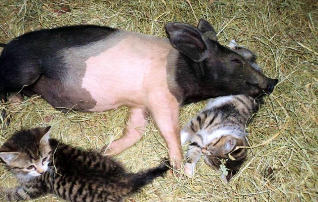Ein Schwein und zwei Katzen