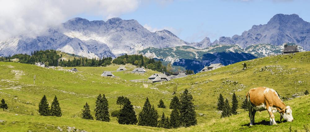 Bauernhof-Urlaub in Bayern: Eine Kuh auf einer Wiese in den Bergen
