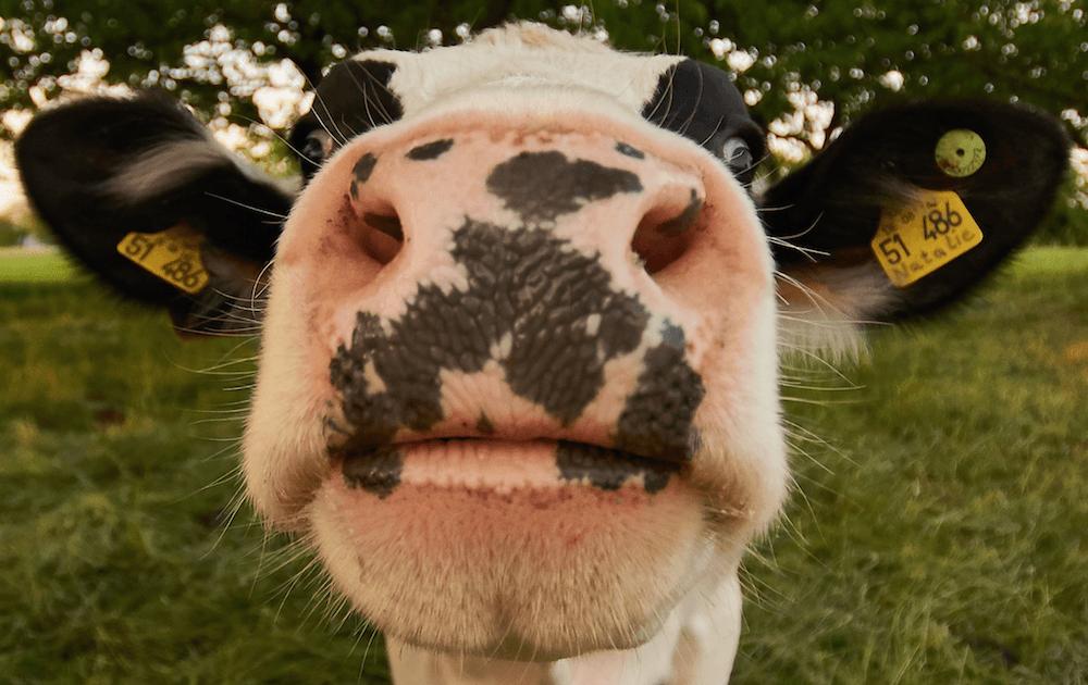 Ein Kuh küsst die Kamera