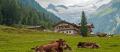 Urlaub am Bauernhof in Österreich mit Kühen und Bergen