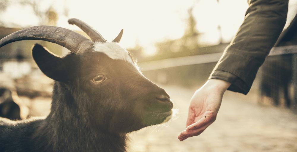 Eine Ziege schnuppert an einer Hand